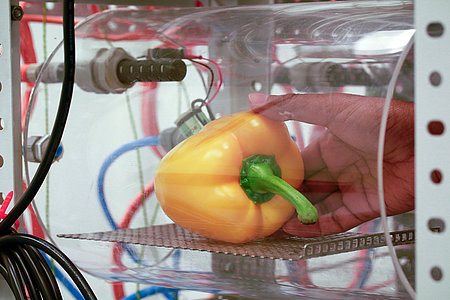 Gas exchange measurement in sweet peppers (Photo: Grimm/ATB)
